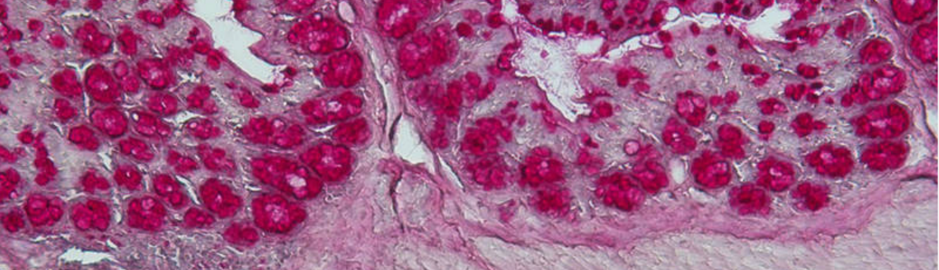 Cluster Allergy and Immunity - Gut cross section, histological staining (C. Ohnmacht)